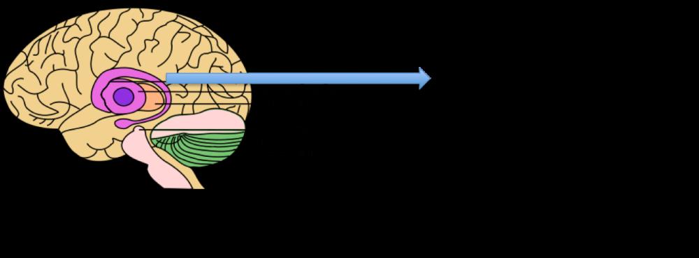 basal-ganglia2